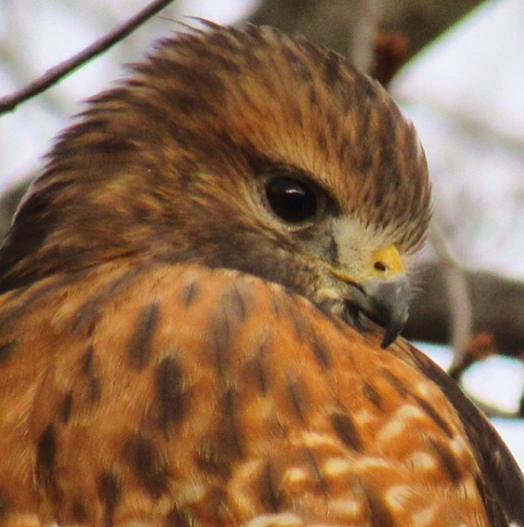Hobbs took this photo of a red shouldered hawk at his grandparents house.