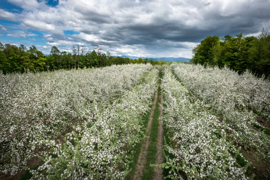 Cornwall, Vermont (May 8, 2013) - The apple orchards of Sunrise Orchards in full bloom during the Spring of 2013 (Photo © 2013 Brett Simison)